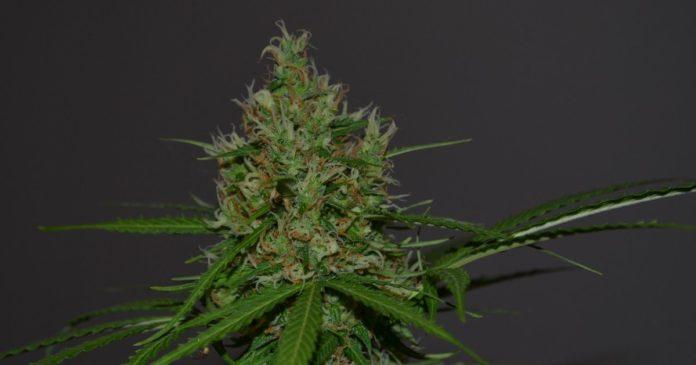 Mississippi medical marijuana decision