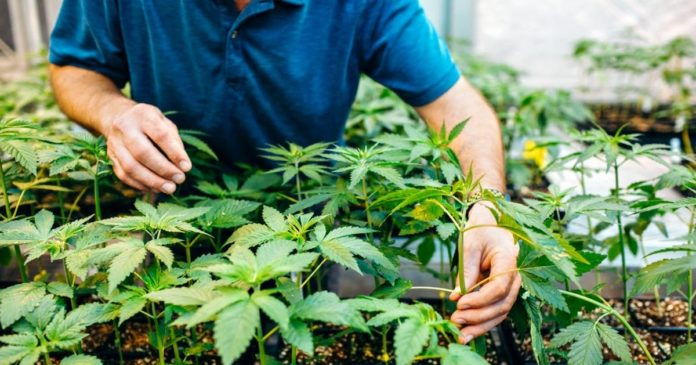 Cornell University hemp THC study